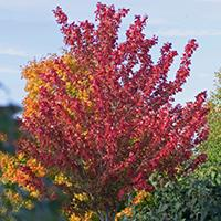 Autumn Spire Red Maple.