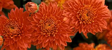 Burnt Copper Chrysanthemum.