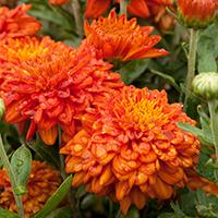 'Burnt Copper' Chrysanthemum.