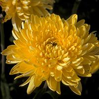 'Gold Country' Chrysanthemum.