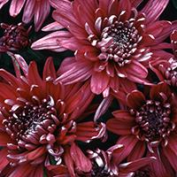 'Grape Glow' Chrysanthemum.