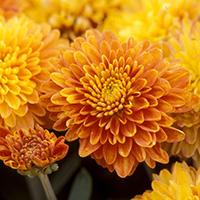 Inca Chrysanthemum.