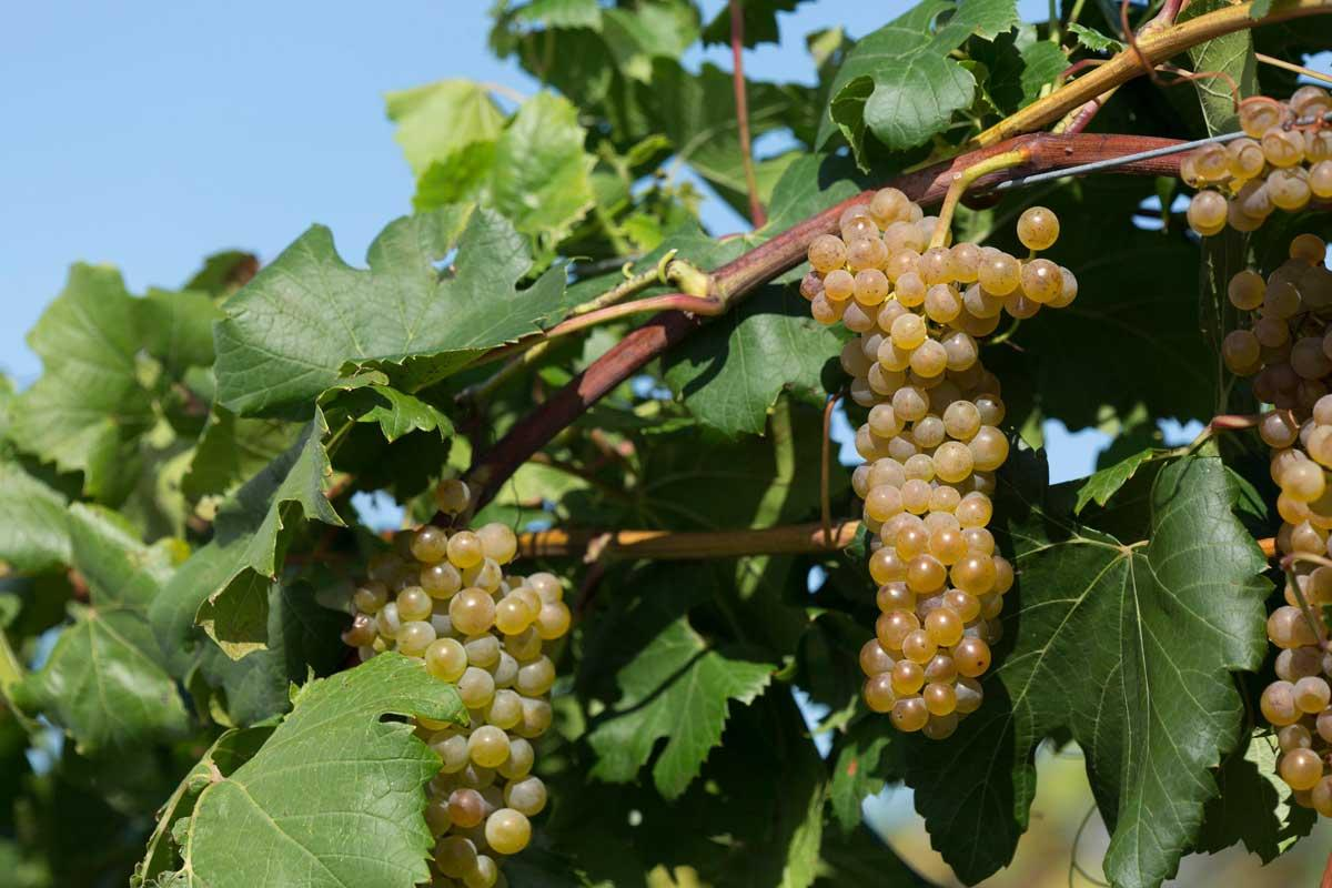 Itasca wine grape.