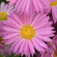 Mammoth 'Dark Pink Daisy' Chrysanthemum.