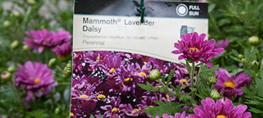 Mammoth lavender daisy mum at retail nursery.