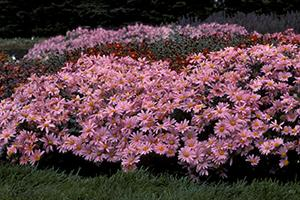 Mammoth Twilight Pink Mum in landscape.
