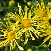 Mammoth 'Yellow Quill' Chrysanthemum.