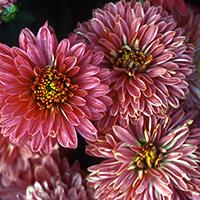 'Minnrose' Chrysanthemum.
