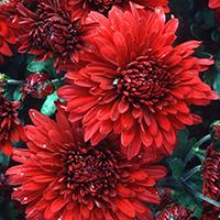 """Minnruby"" Chrysanthemum."