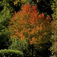 'Northwood' Red Maple.