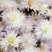 'Snowscape' Chrysanthemum.