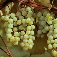 Edelweiss Table Grapes