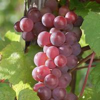 Swenson Red Table Grapes