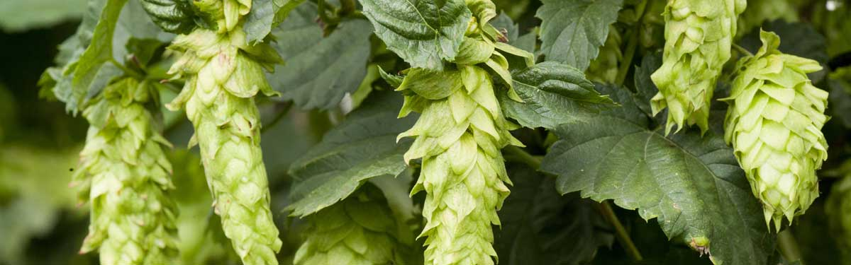 UMN Hops research.