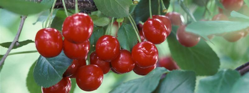 Cherries Header