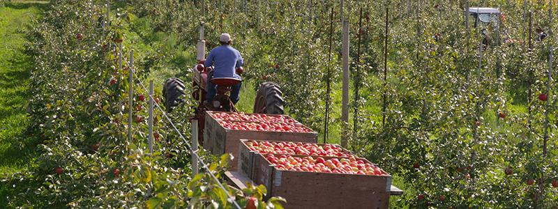 Apple orchard.  Harvest time.