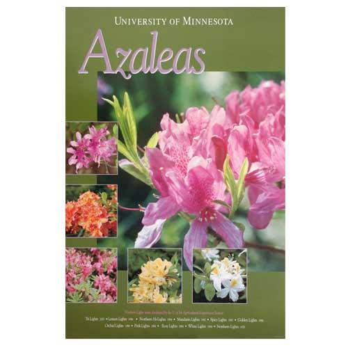 Northern Lights azaleas poster.