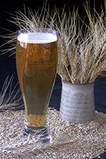 Beer in a glass with barley.