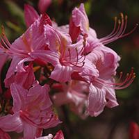 'Candy Lights' Azalea.