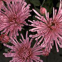 'Centerpiece' Chrysanthemum.