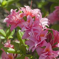 Electric Lights Double Pink Azalea