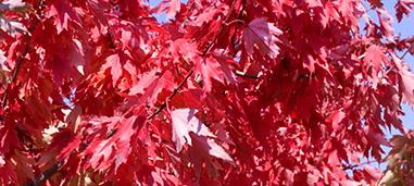 Firefall Freeman Red Maple.