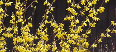 Northern Sun forsythia.