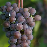 Frontenac gris wine grape.