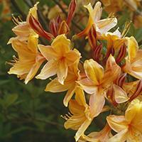 'Golden Lights' Azalea.