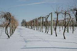 U of M wine grapes in winter.