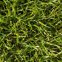 Green Emperor turfgrass.