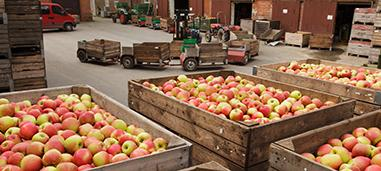 Honeycrisp apple in crates for market.