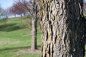 Kentucky Coffeetree bark.