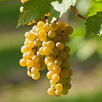 La Crescent wine grape.
