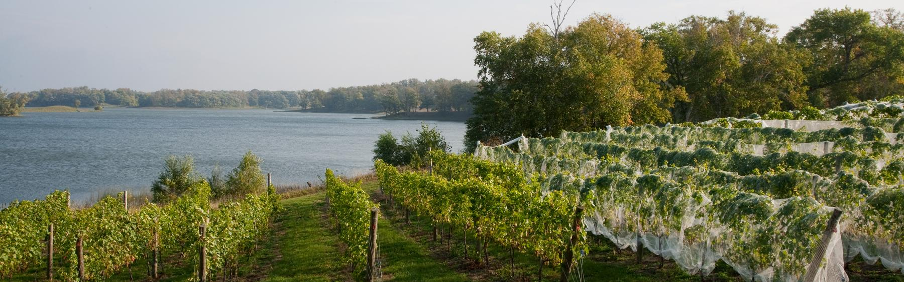 Minnesota vineyard growing U of M wine grape varieties.