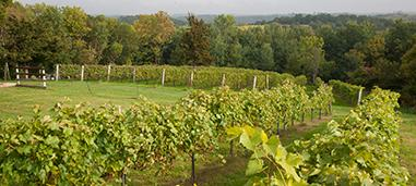 Winery growing UMN grape vines.