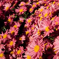 Mammoth 'Red Daisy' Chrysanthemum.