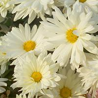 Mammoth 'White Daisy' Chrysanthemum.