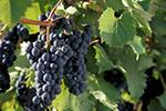 Marquette wine grape.