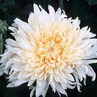 'Mellow Moon' Chrysanthemum.