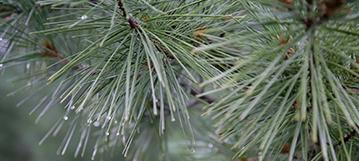 Patton's Silver Splendor white pine.