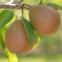 Parker Pears