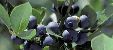 Free Blueberry Photos