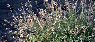 Free Gaura Photos