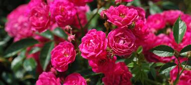 Free Rose Photos