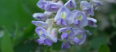 Free Wisteria Photos