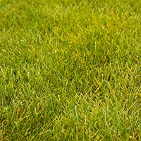 Polar green perennial ryegrass.