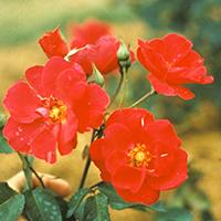 'Prairie Fire' Rose.