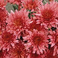 'Rose Blush' Chrysanthemum.