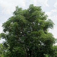 'Stately Manor' Kentucky Coffeetree.